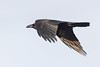 Raven, in flight, wings down, seen from side and behind.