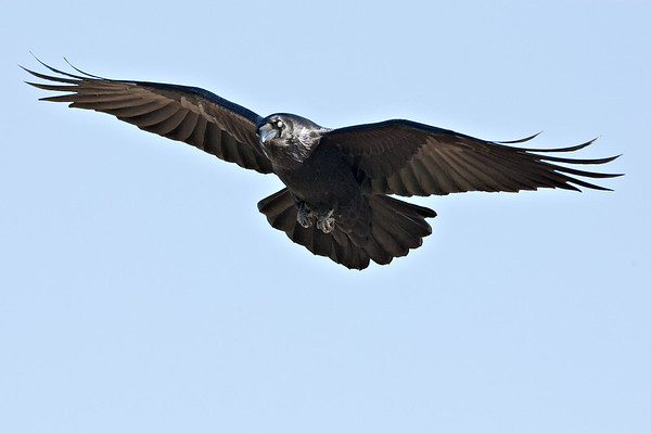 Raven in flight, wings outstretched.