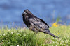 Raven in the grass, Nictating membrane partially covering visible eye.