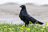 Wet raven standing on lawn.