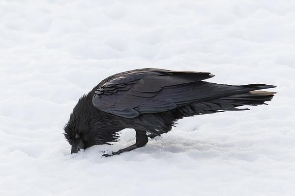 Raven wiping beak on snow.