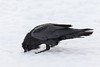 Raven wiping beak on snow.