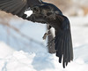 Raven flying with lard in beak.