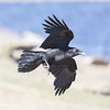 Raven in flight, both wings bent, turning.