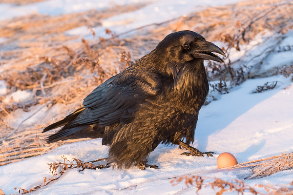 Raven pausing from eating an egg on the riverbank a few moments after sunrise.