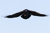 Raven in flight. One wingtip out of frame.