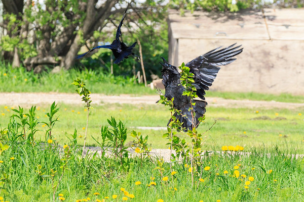 Raven leaping up from the ground at divebombing crow.