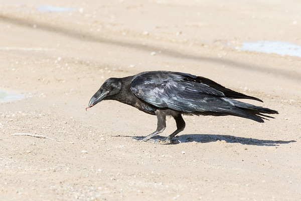 Juvenile raven with worm in its beak.