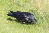 Raven hiding some good in tall grass.