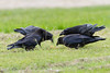 Four ravens near an egg on the ground.