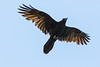 Raven overhead, wings out straight, beak open.