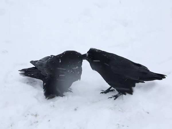Two ravens in snow storm, mutual grooming. 2014 November 9th.