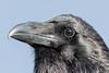 Headshot of raven