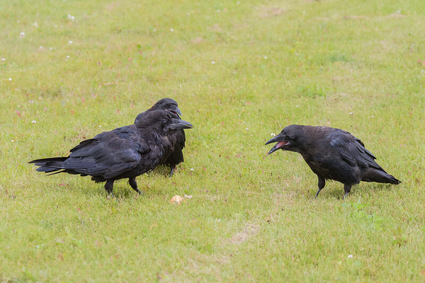 Juvenile raven begging for food from an adult.