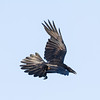 Raven in flight. Tail feathers spread, turning, wings out, tips pointed back.