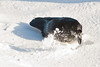 Raven digging in snow