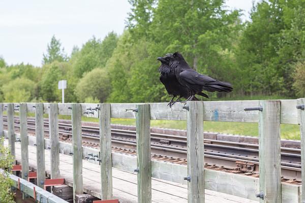 Two ravens on railing on railway bridge over Store Creek in Moosonee.