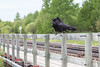 Two ravens on railing on railway bridge over Store Creek in Moosonee.