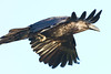 Raven, in flight, tail out of frame.