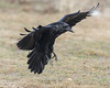 Raven landing on grass.
