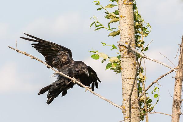 Raven landing on a thin branch.