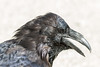 Raven headshot. Beak open.
