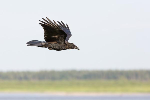 Juvenile raven in flight, wings up.