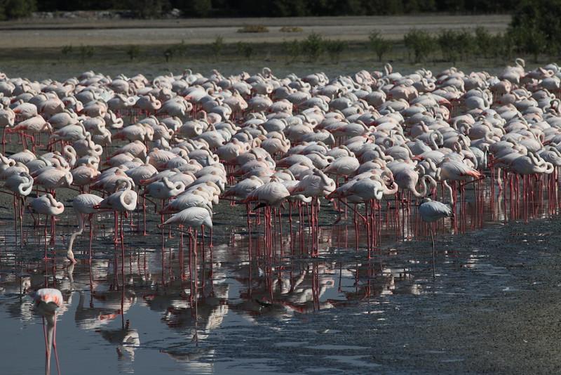Pink Flamingos from Raz Al Khor in Dubai