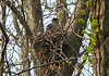 Cooper's Hawk on a nest