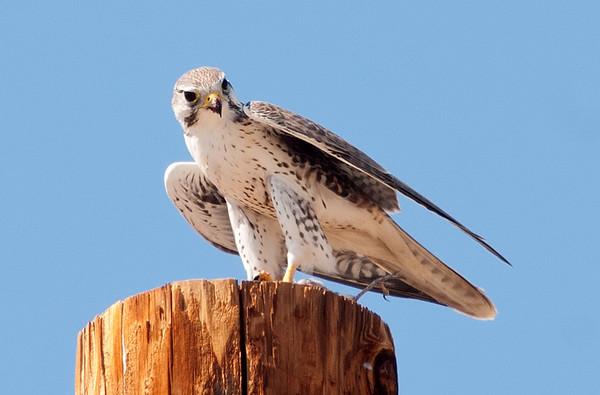 Prairie Falcon, Borrego Springs
