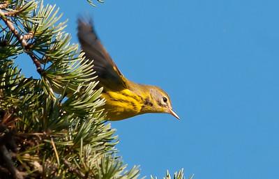 Prairie Warbler, Point Loma