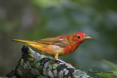 Summer Tanager in New Market, AL.