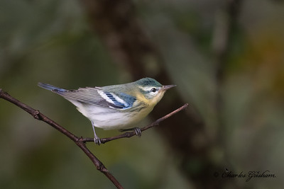 Cerulean Warbler on Monte Sano mtn., Huntsville, AL