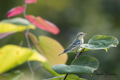 Cerulean Warbler on Monte Sano mtn. in Huntsville, AL.