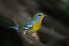 Fall plumaged Northern Parula