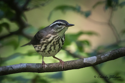 Louisiana Waterthrush at Estill Springs, AL.