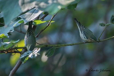 Cerulean Warblers on Monte Sano mtn. in Huntsville, AL.