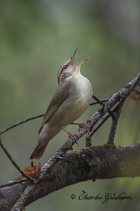 Swainson's Warbler in Ideal, GA.