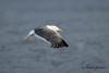 Lesser Black-backed Gull (adult plumage)