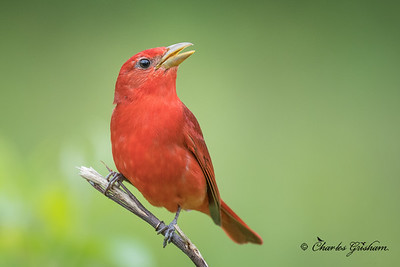 Summer Tanager in Mayesville, AL.