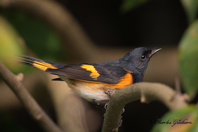 American Redstart (adult male)