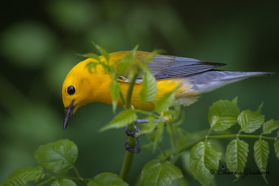 Prothonotary Warbler in Decatur, AL.