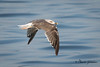 Lesser Black-backed Gull (3rd year)