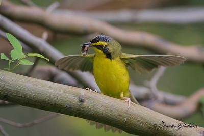 Kentucky Warbler in Mayesville, AL.
