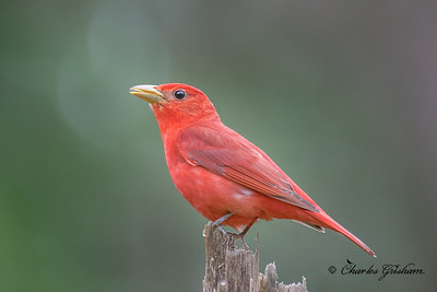 Summer Tanager (Piranga rubra - eastern subspecies) at Grisham Acres on Berry Mountain, AL.