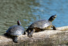 Red-eared Slider & Blandings Turtle