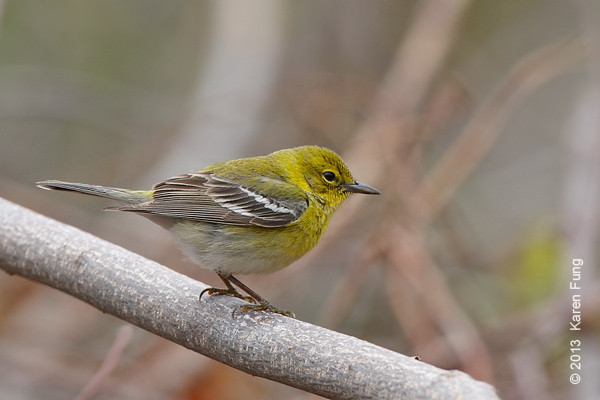 20 April: Pine Warbler at Hempstead Lake SP
