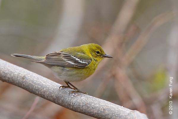 20 April: Pine Warbler at Hempstead Lake SP