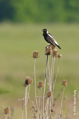 7 June: Bobolink at Shawangunk Grasslands NWR