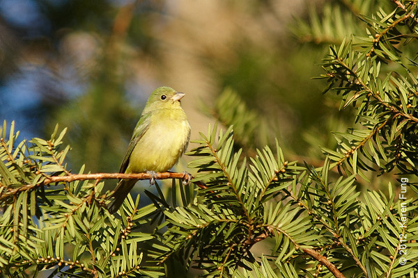 26 September: Female Painted Bunting at Alley Pond Park